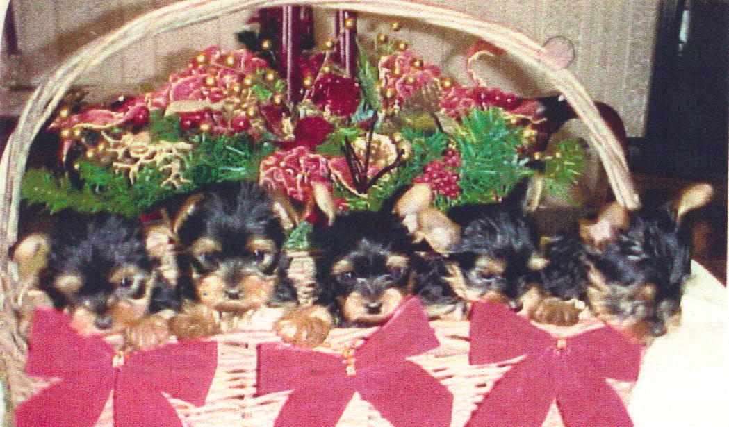 Chihuahua and Yorkshire Terrier puppies for sale, AKC registered