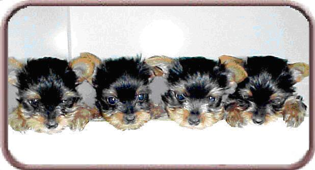 Chihuahua And Yorkshire Terrier Puppies For Sale Akc Registered